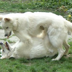 kampfhunde1[1]