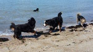 baignade des chiens1- 28 aout 2015