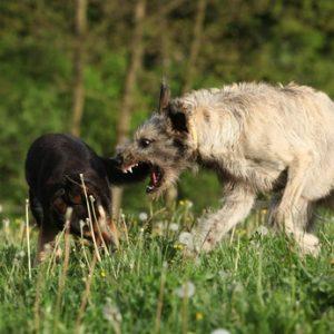 bagarres de chiens
