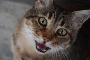 chat qui miaule tout le temps
