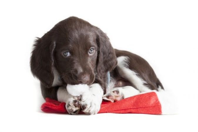 Small Munsterlander puppy playing with a Santa hat